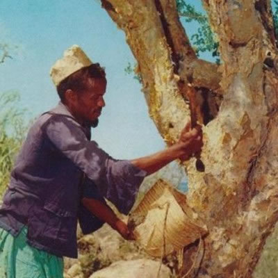 Myrrh_tree_Somali_man