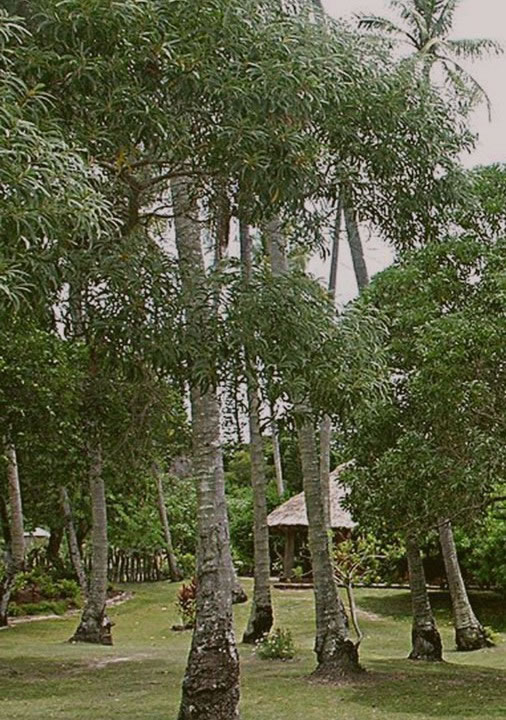 Sandalwood trees