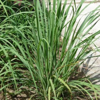 lemongrass.plant