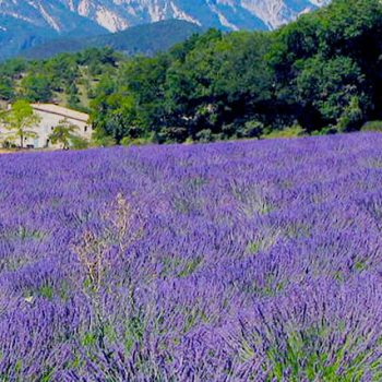 Sunny field of Lavender in the hills