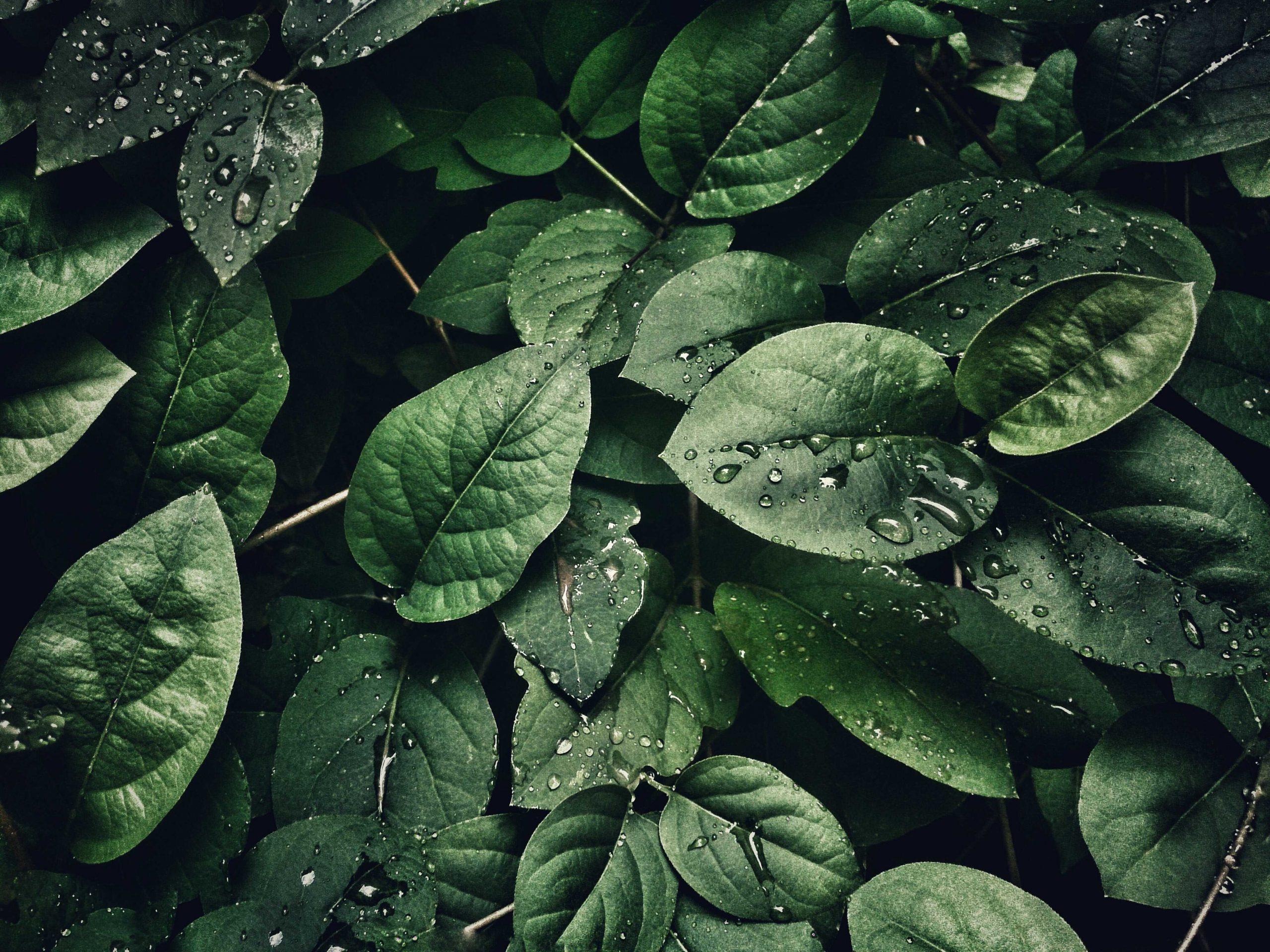 Closeup of pacific northwest leaves with water droplets