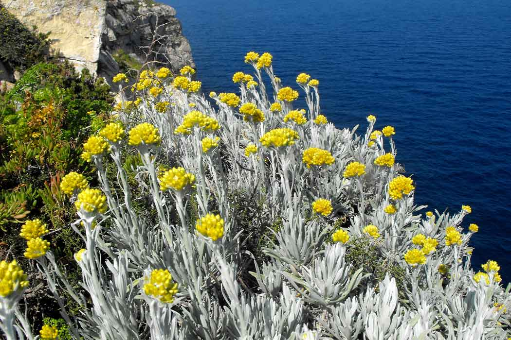 Helichrysum on the side of a cliff near the ocean