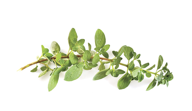 Oregano plant used in essential oils