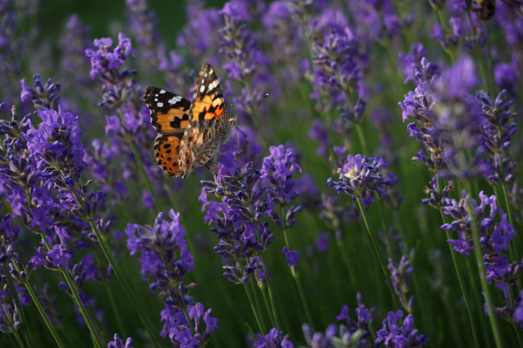 Orange butterfly in lavender field.